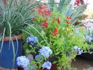 Plumbago, Salvia and Yucca